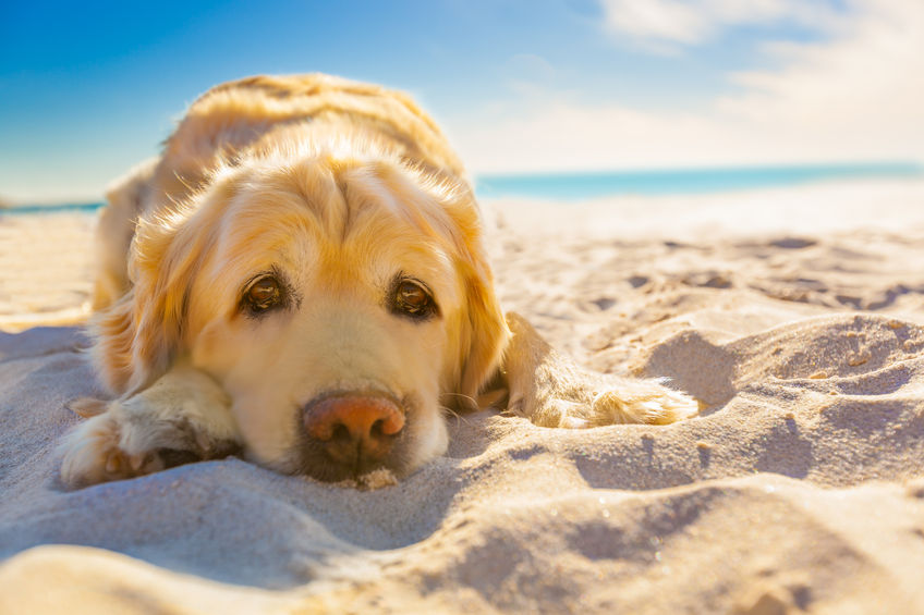 37974594 - golden retriever dog relaxing, resting,or sleeping at the beach, under the bright sun